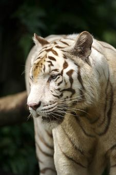 Free White Tiger Stock Photos - 3676833