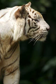 Free White Tiger Royalty Free Stock Image - 3676836