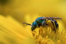 Green Bee On Yellow Flower Royalty Free Stock Photos