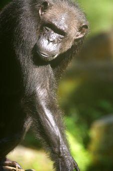 Free Chimpanzee Royalty Free Stock Photography - 3676957