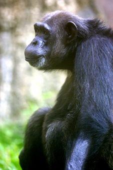Free Chimpanzee Stock Images - 3676964