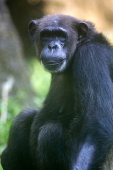 Free Chimpanzee Royalty Free Stock Photography - 3676967