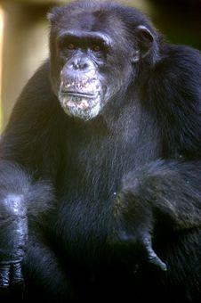 Free Chimpanzee Royalty Free Stock Photos - 3676988
