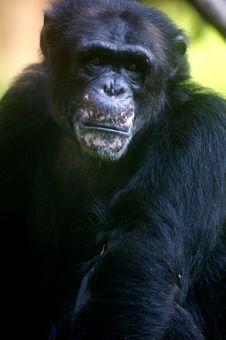 Free Chimpanzee Royalty Free Stock Images - 3676999