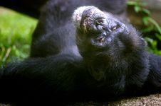 Free Chimpanzee Royalty Free Stock Image - 3677016