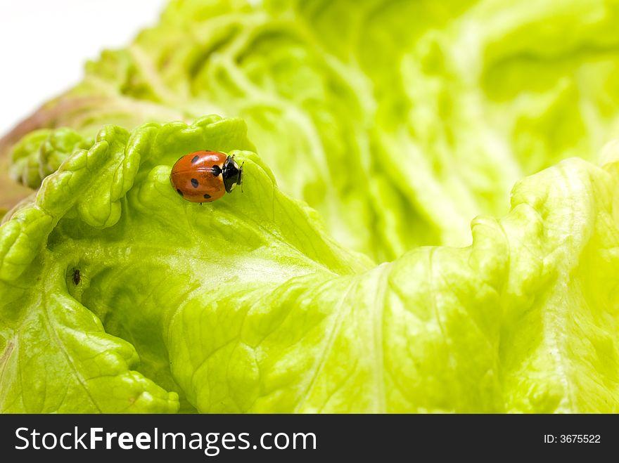 Ladybug on lettuce