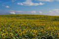 Free Sunflower Field Stock Images - 36701164
