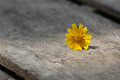 Free Wedelia Trilobata On Tree Bark Stock Photo - 36704640