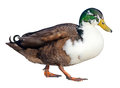 Free Domestic Mallard Stock Photo - 36704700