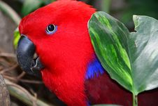 Free Red Eclectus Parrot Portrait Stock Photo - 36706090