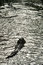 Free Departuring Cuban Crocodile Stock Photos - 36706383