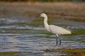 Free Little Egret &x28;Egretta Garzetta&x29;. Stock Photography - 36716932