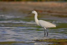Free Little Egret &x28;Egretta Garzetta&x29;. Stock Photography - 36716932