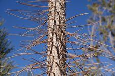 Free Pinon Tree Bark And Needles Royalty Free Stock Photos - 36719308