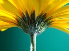 Free Yellow Gerber Flower Stock Image - 3680491