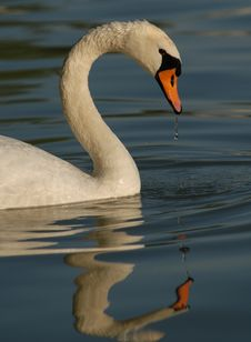 Free Swan Royalty Free Stock Image - 3682286
