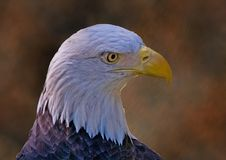 Free Bald Eagle Stock Photo - 3682400