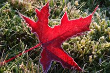 Free Frosty Maple Leaf Royalty Free Stock Photo - 3682505