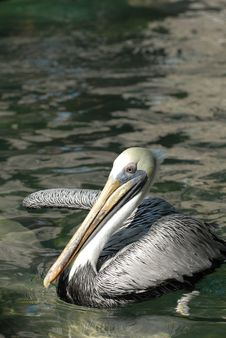 Free Brown Pelican Stock Photography - 3684222