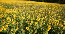 Free A Meadow Of Flowers Stock Photography - 3685852