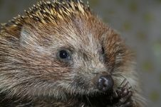 Free The Young Hedgehog Stock Images - 3686564