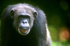 Free Chimpanzee Stock Photography - 3687822