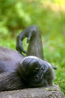 Free Chimpanzee Royalty Free Stock Image - 3687956