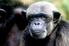 Free Chimpanzee Stock Images - 3688034