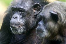Free Chimpanzee Royalty Free Stock Photography - 3688047