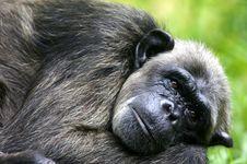 Free Chimpanzee Stock Photography - 3688052