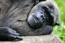 Free Chimpanzee Royalty Free Stock Images - 3688069