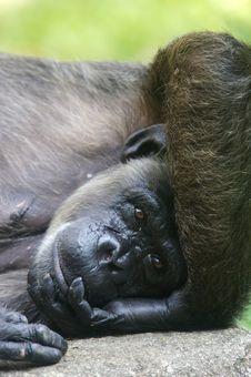 Free Chimpanzee Stock Images - 3688074