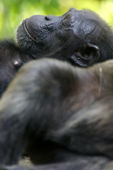 Free Chimpanzee Royalty Free Stock Photo - 3688075