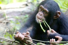 Free Chimpanzee Stock Photos - 3688133