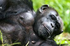 Free Chimpanzee Stock Image - 3688151