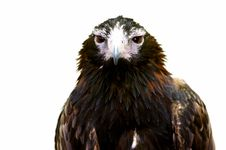 Free Wedge Tailed Eagle Stock Photography - 3688322
