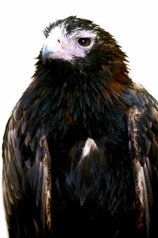 Free Wedge Tailed Eagle Royalty Free Stock Photo - 3688325