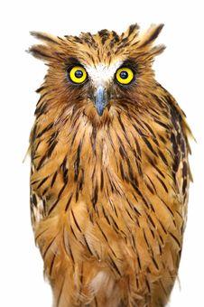 Free Malaysian Fish Owl Royalty Free Stock Photo - 3688335