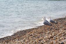 Free Seagulls Royalty Free Stock Image - 3688976