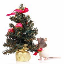 Free Rat Stock Photo - 3689150