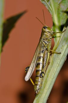 Free Grasshopper Macro Stock Photo - 3689590
