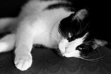 Free Cat In Black And White Royalty Free Stock Photos - 3689698