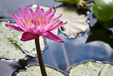 Free Waterlily With Backlight Royalty Free Stock Image - 3689706