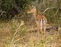 Free Gazelle Royalty Free Stock Image - 3697716