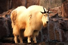 Free Mountain Goat Royalty Free Stock Photography - 3691197