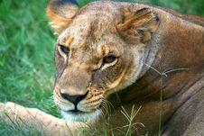 Free A Female Lion Stock Photo - 3691380