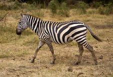 Free Zebra Royalty Free Stock Photos - 3691548