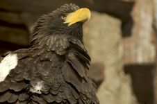 Free Eagle. Royalty Free Stock Photos - 3691808