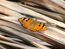 Free Butterfly Royalty Free Stock Photography - 3692567