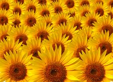 Free Sunflowers Composition Stock Photography - 3693192